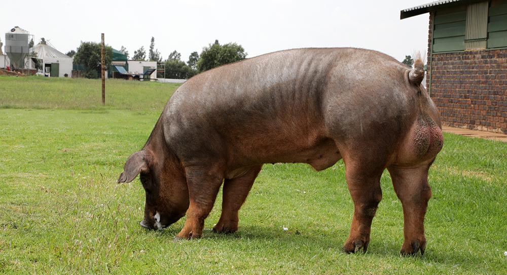 Duroc Boar Image